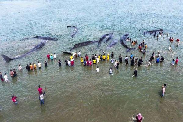 Una cadena humana logra rescatar a seis cachalotes varados en Indonesia