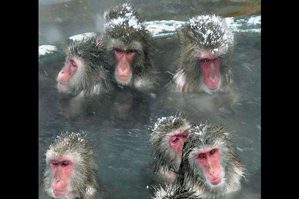 Descubren que famosos monos japoneses se bañan en aguas termales para relajarse y mejorar su ánimo