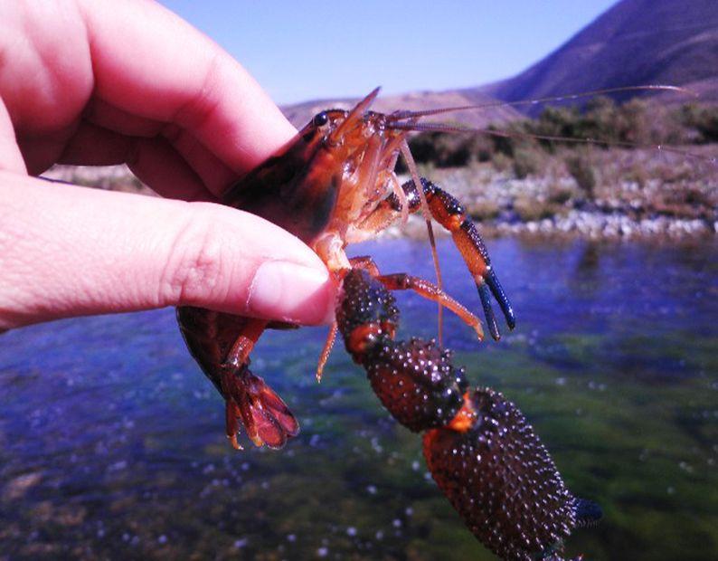 Actividad camaronera se encuentra en extinción en el río Huasco