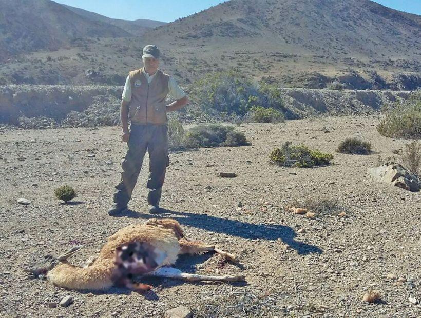 Ahora hallan dos guanacos muertos en Llanos de Challe