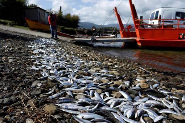 Estudio Greenpeace culpa a las autoridades por marea roja en Chiloé