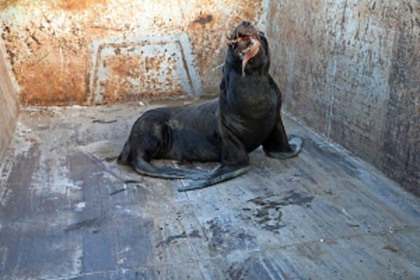 Operativo en borde costero de Caldera para trasladar loba de mar agresiva