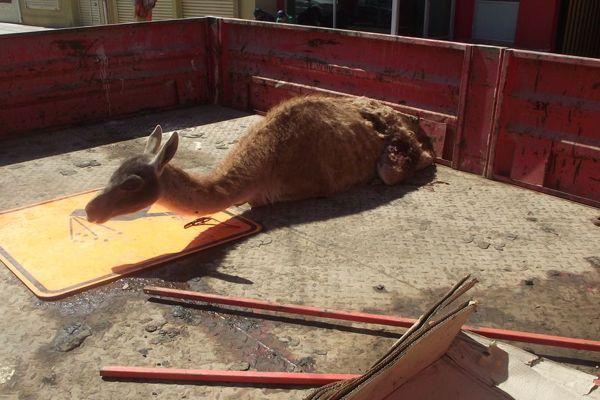 Guanaco muere tras ser atacada por perros salvajes en Chañaral