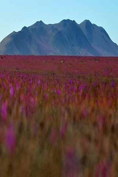 Atacama tendría el desierto florido más grande de los últimos tiempos