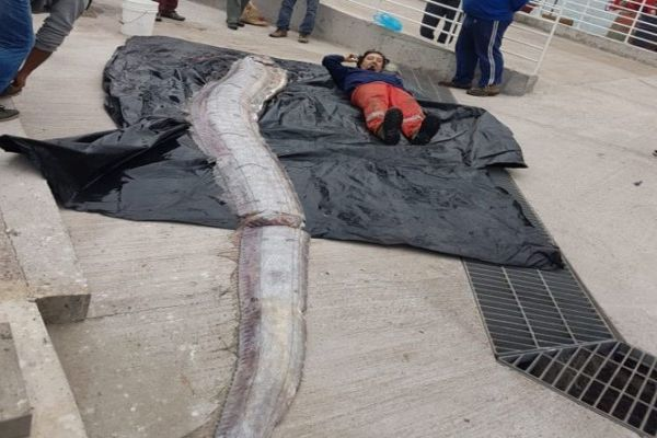 Pez remo de 5 metros sorprende a pescadores artesanales de Iquique
