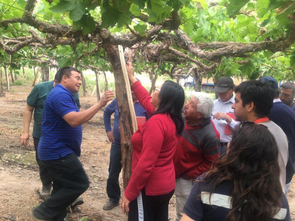 Indap comenzó asesorías técnicas a agricultores de uva del Huasco