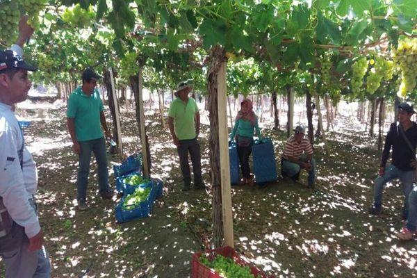 Productores de uva serán beneficiados con 2do año de Nodo para la competividad