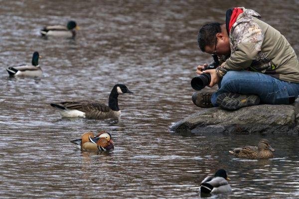 Nadie sabe cómo este hermoso pato asiático llegó a Nueva York