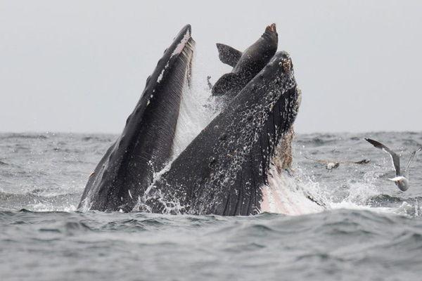 Captan a ballena atrapando accidentalmente a un león marino en su boca