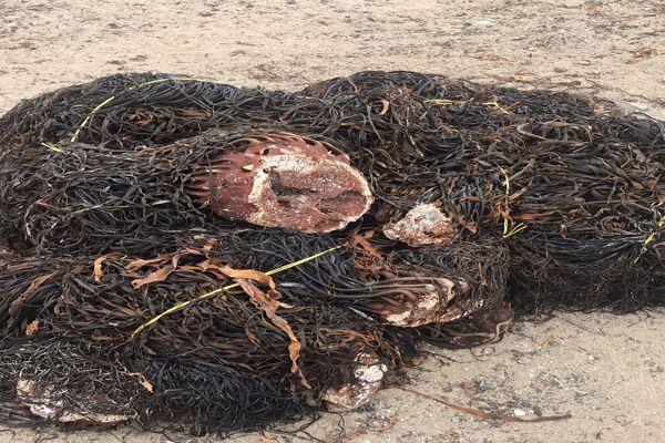 Sernapesca Atacama incauta más de 76 toneladas de algas extraídas ilegalmente.